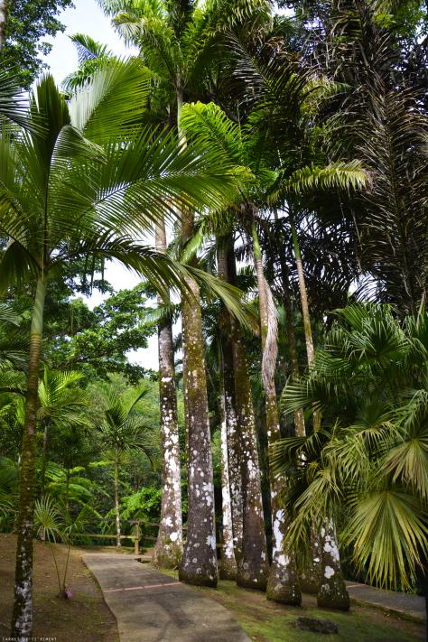 VOICI QUELQUES PHOTOS DE LA MARTINIQUE  : arbre du voyageur, palmier royal et une palmeraie.