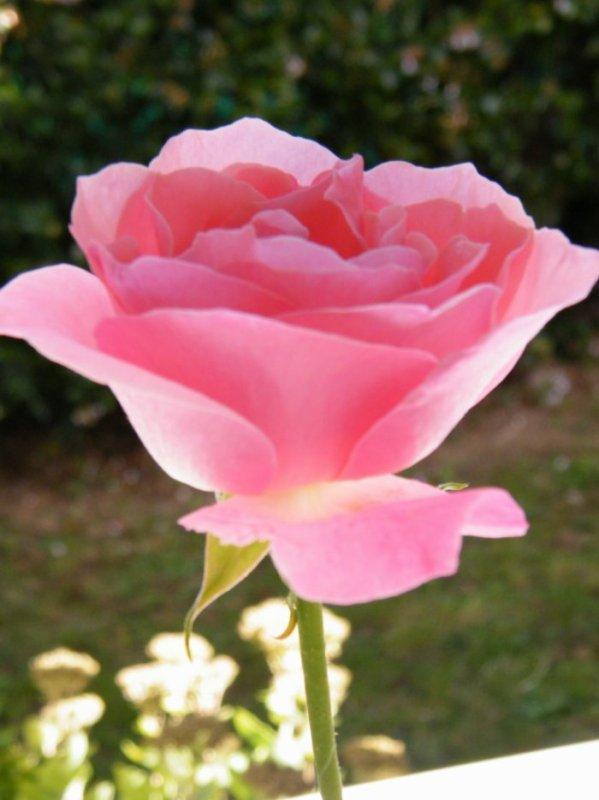 Mille excuses encore pour avoir oublié !!! je t'offre du fond du coeur cette rose de mon jardin , pour te souhaiter un joyeux anniversaire   je te souhaite la santé et plein de bonnes choses  , je t'embrasse bien affectueusement Mimi  ton amie M