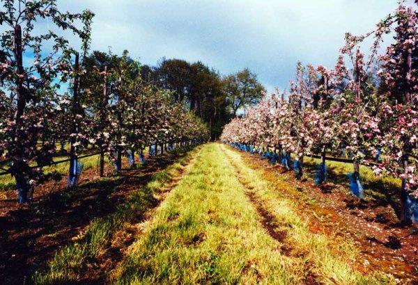Voici quelques photos des pommes du Limousin