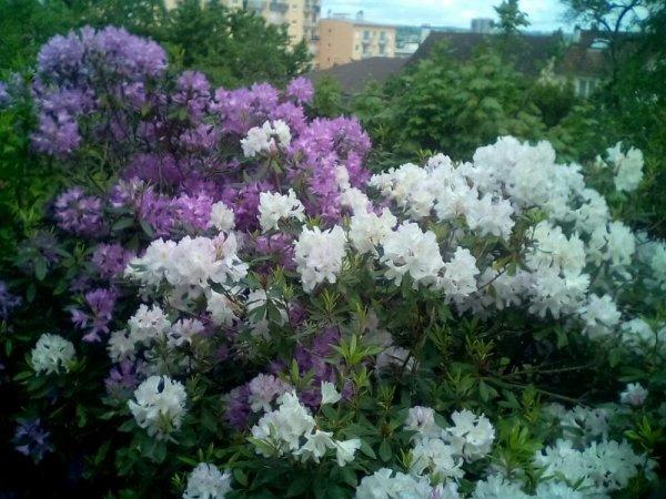 Les rodos de mon jardin bon vendredi a vous