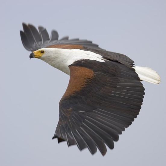 Animal Totem. L'Aigle