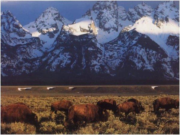 Animal Totem. Le Bison