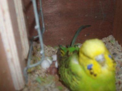 bébé perruche anglaise