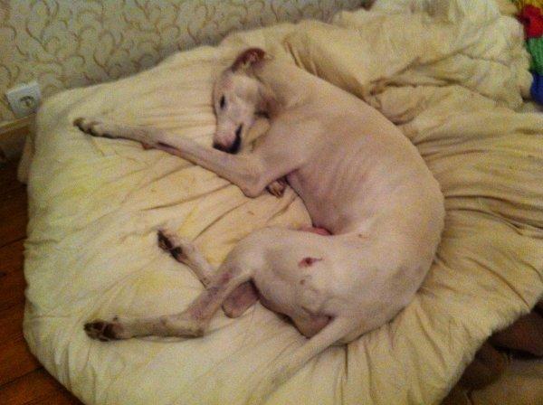 FARLOPA  chien galgo martyr d'Espagne ....