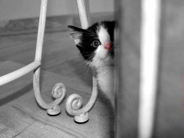 Le Chat à un regard intense