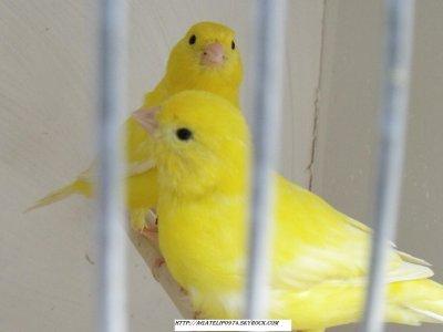 lipo jaune