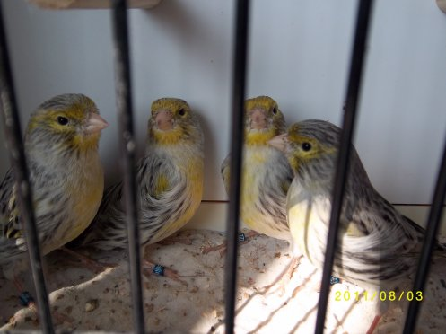 jeunes agate  mosaique jaune 2011