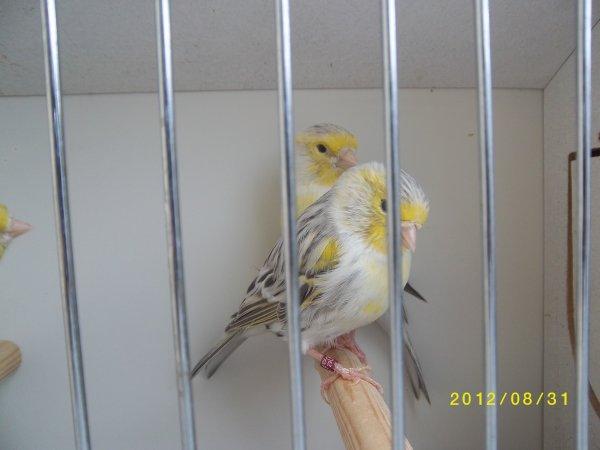 Topaze mosaique jaune