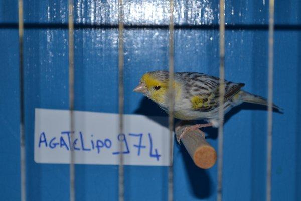 Male topaze mosaique jaune