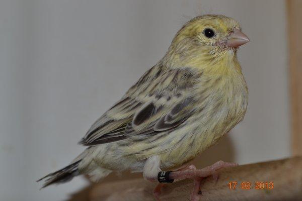 Jeune  topaze mosaique jaune
