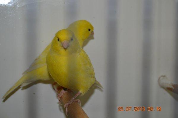 lipochrome jaune