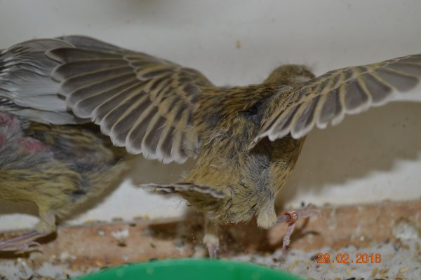 Jeunes qui commencent a sortir du nid ( agate cobalt jaune schimmelle et intensif )