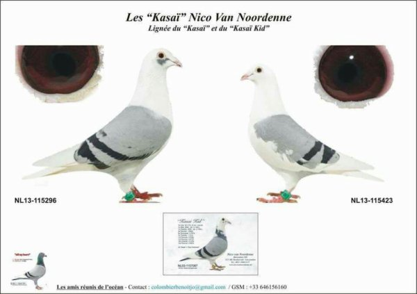 Nouvelle introduction lignée kasaï de nordenne nico