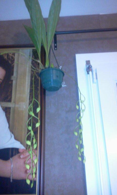mon orchidee
