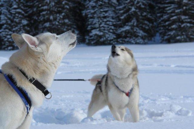 Waziyatan : Voykan, Vanko, ma passion des chiens nordiques et du mushing...