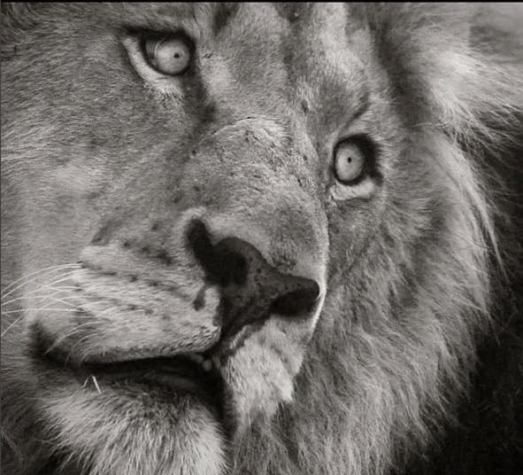 Le coeur cassé des lions