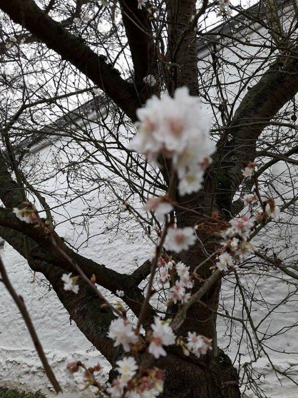 Sur ma route , un 28 décembre , j'ai croisé des arbres en fleurs dans ma région ,centre de la Belgique