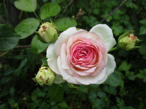 Pour Isa , enfin une rose Pierre de Ronsard et un coquelicot juponné !