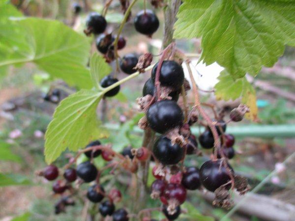 Les fruits des confitures