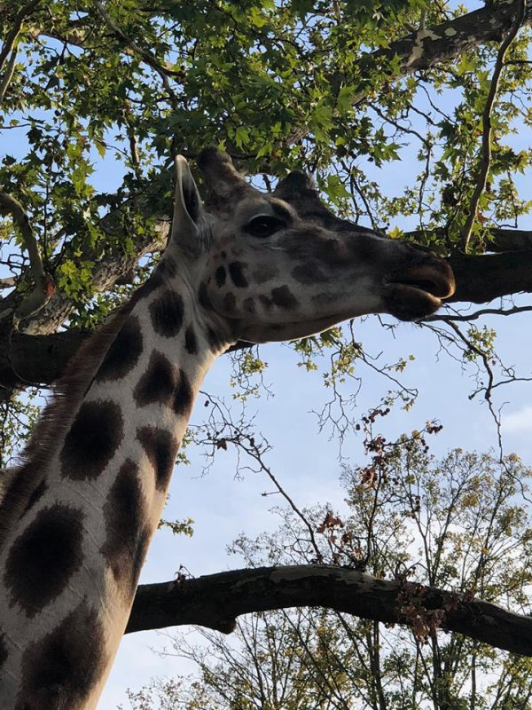 """La girafe , je l'aime depuis toujours , elle me fascine (j'ai visité hier , le parc """"Pairi Daiza """" )"""