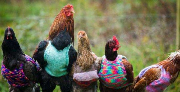 """Des pulls pour tenir chaud aux poules de batterie à la retraite. """"RIRE ET TRES IMPORTANT"""""""
