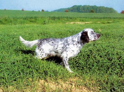 Fiche de renseignement du Setter anglais : un chien d