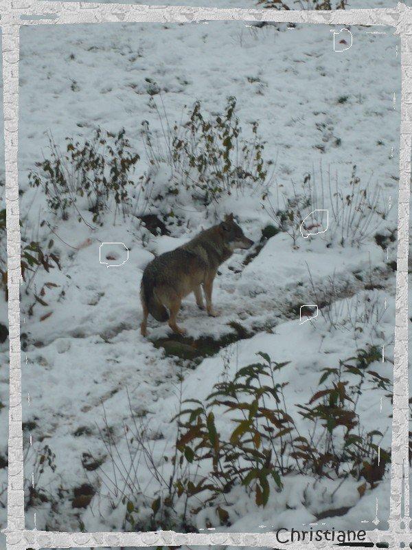 Parc aux loups (suite et fin)