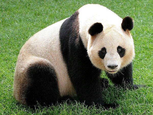 le panda 360 animaux. Black Bedroom Furniture Sets. Home Design Ideas