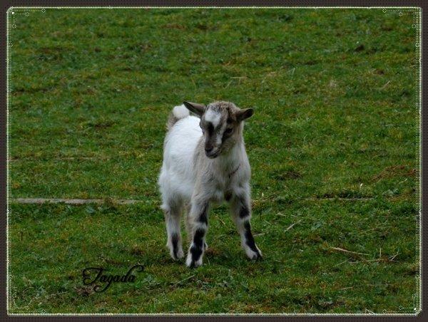 Présentation de ma chèvre Tagada .