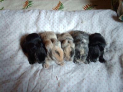 voici mes 5 bebe lapinous teddy angora il son 9jour papa arlequin maman eve