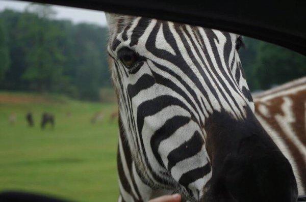 Ma rencontre avec un zebre.