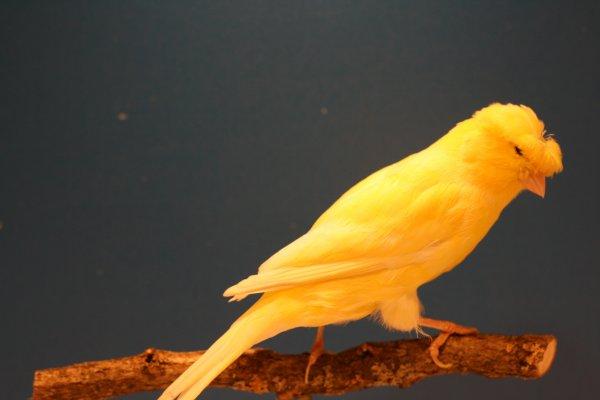 huppé jaune schimmel de 2017