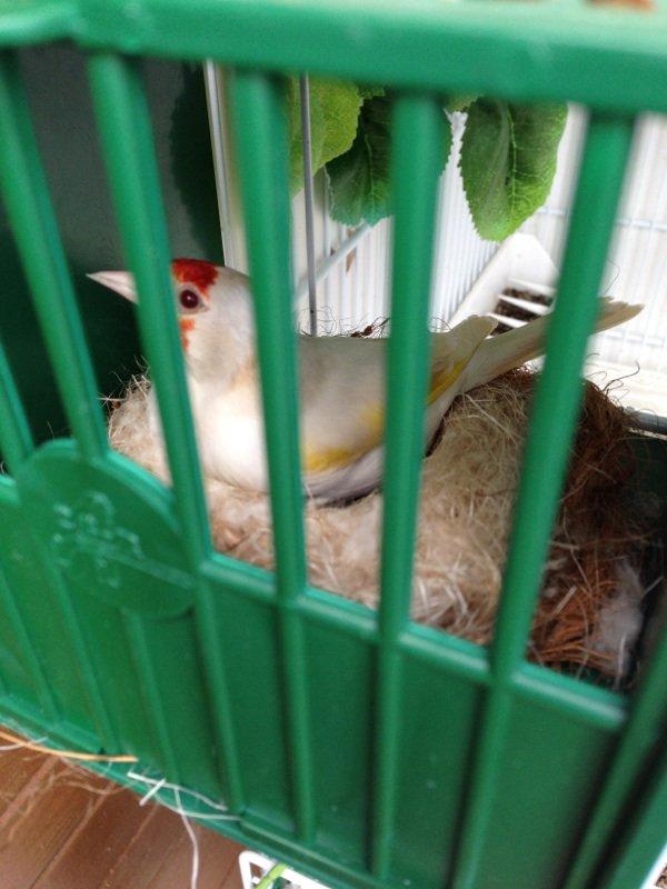 Femelle satinée au nid