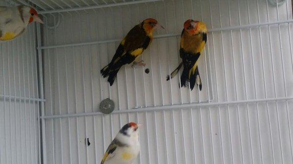 Male agate jaune et mâle jaune gorge blanche