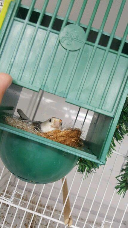 Femelles au nid