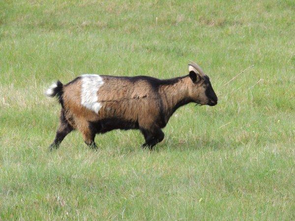 Un petit coucou des petites chèvres !