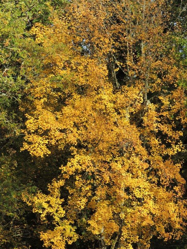 l'or de l'automne