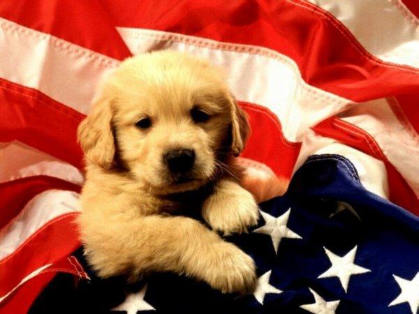 Labrador drapeau Etats Unis