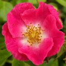 Pictures of Pretty-Wild-Rose