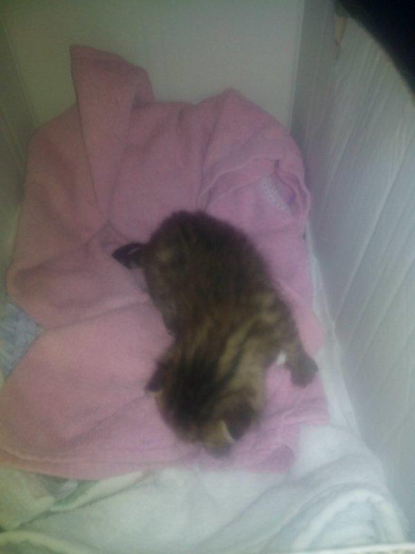 voici ma petite chatte Lily elle a 1semaine