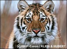 tt de tigre