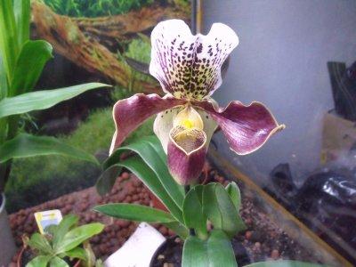 Mon paphiopedilum aussi appel sabot de venus blog de - Orchidee sabot de venus ...