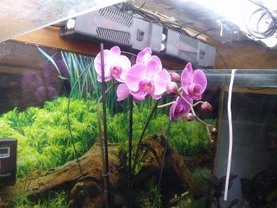 Fiche de culture de l 39 orchid e phalaenopsis plus vid o entretien blog de paradissecret - Entretien orchidee apres floraison ...