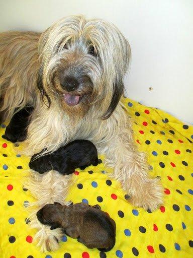 7 superbes bébés berger catalan