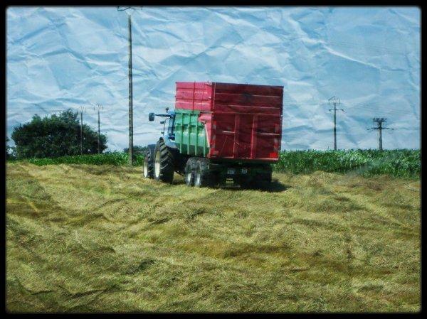 Moisson du ray-grass semence