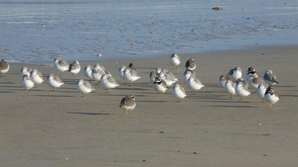 Grands gravelots et bécasseaux sanderling.