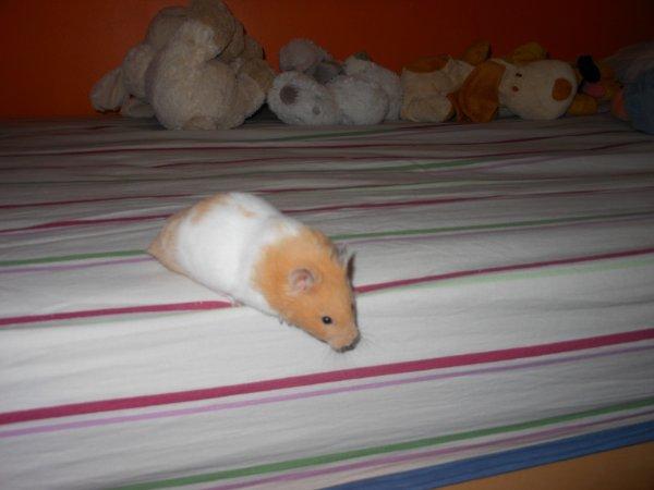 Le hamster syrien