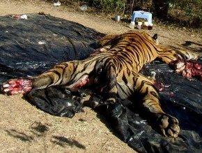 STOP A L'EXTINCTION DES TIGRES