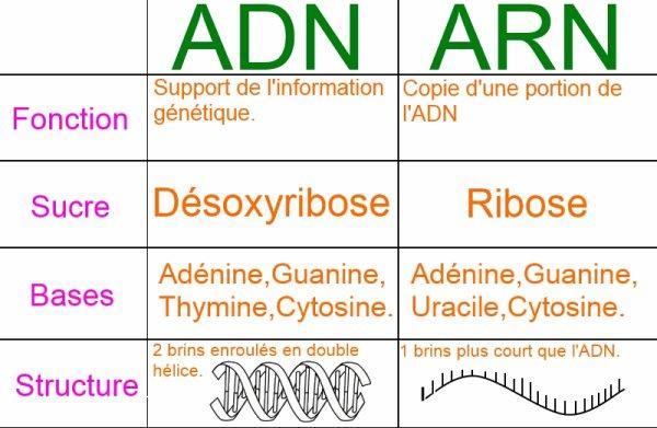 Biologie-L'ADN et l'ARN