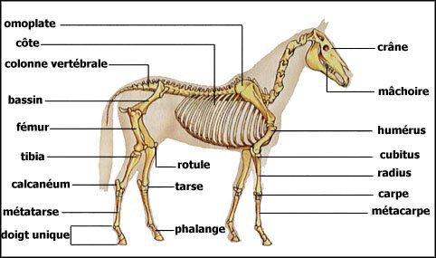 [Aide Anatomie]Notions de construction des bras et des jambes.